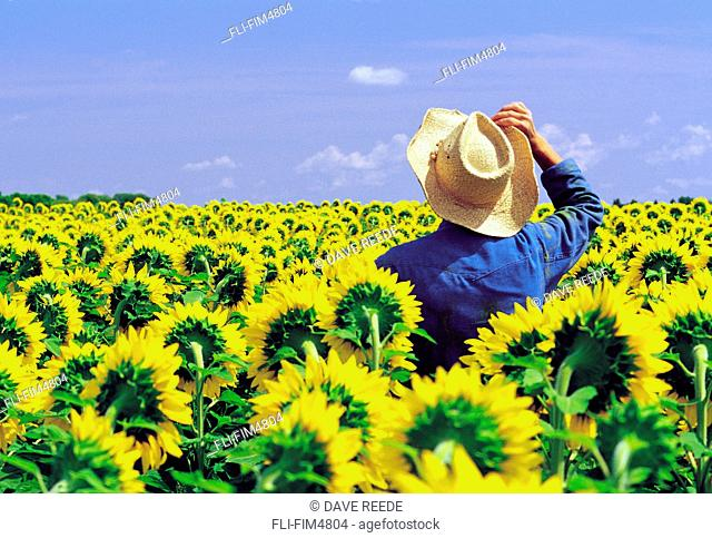 Artist's Choice: Farmer Looking out over his Flowering Sunflower Crop, near Oakbank, Manitoba