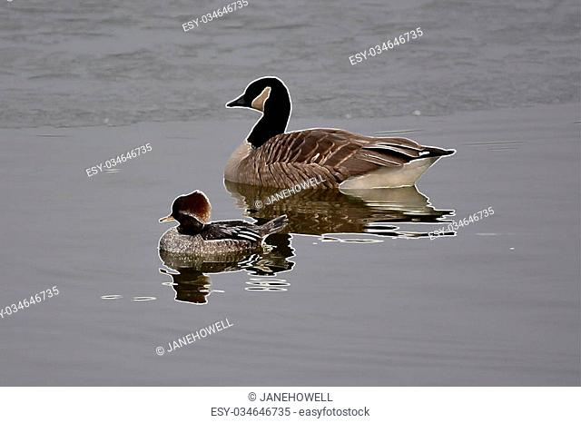 A female hooded merganser and a Canadian goose highlighted with a white outline on a partially frozen lake