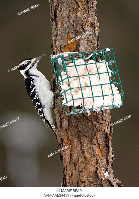Hairy Woodpecker (Picoides villosus), adult male at suet feeder, New York, USA