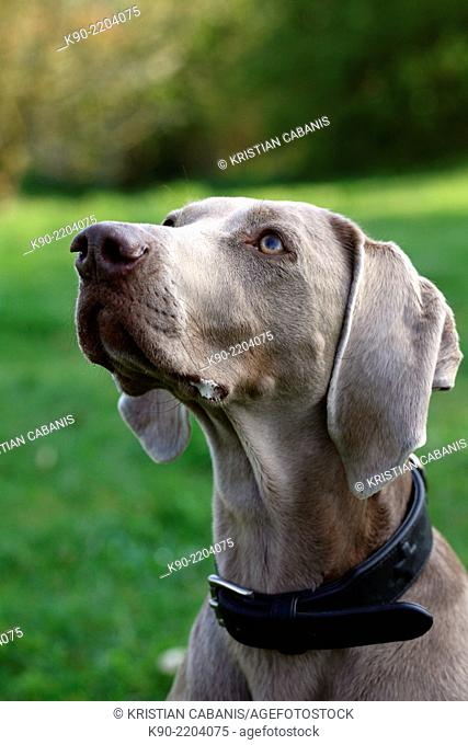 Female Weimaraner with green background, Berlin, Germany, Europe