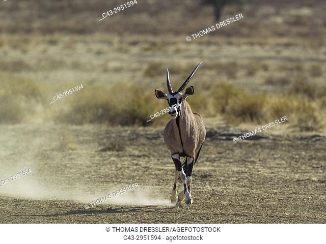 Gemsbok (Oryx gazella). A dominant male trying to impress and intimidate a rival. Kalahari Desert, Kgalagadi Transfrontier Park, South Africa