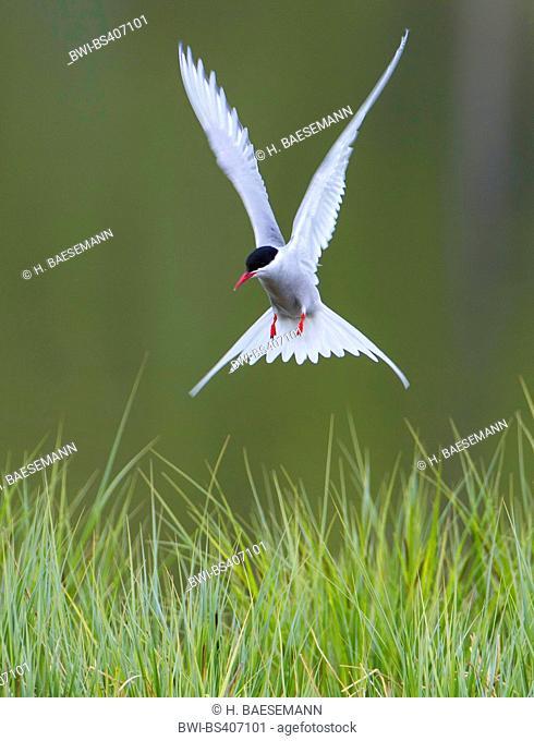 arctic tern (Sterna paradisaea), landing on grass, Norby, Troms