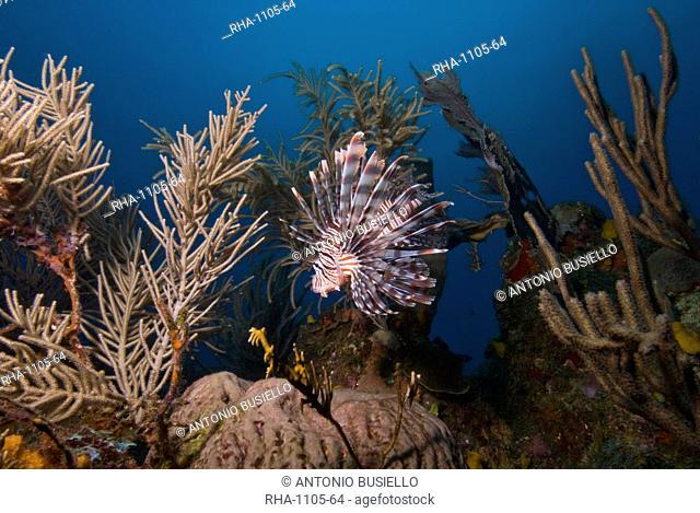 Lionfish Pterois volitans, Roatan, Bay Islands, Honduras, Caribbean, Central America