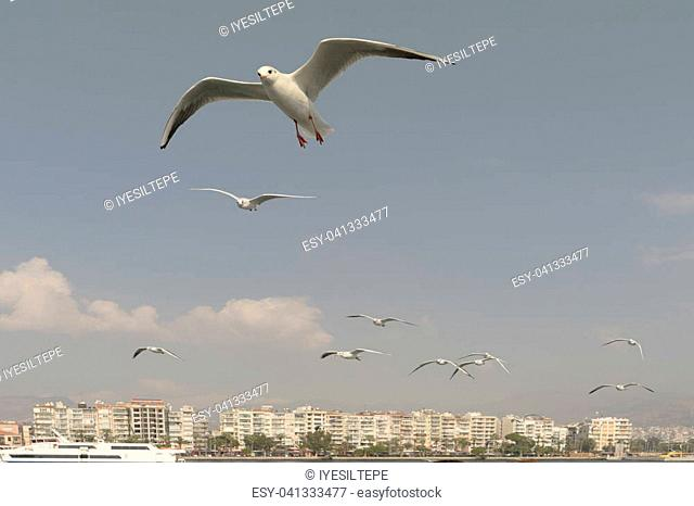 Seagull. seagulls flying in the back of the ships at sea