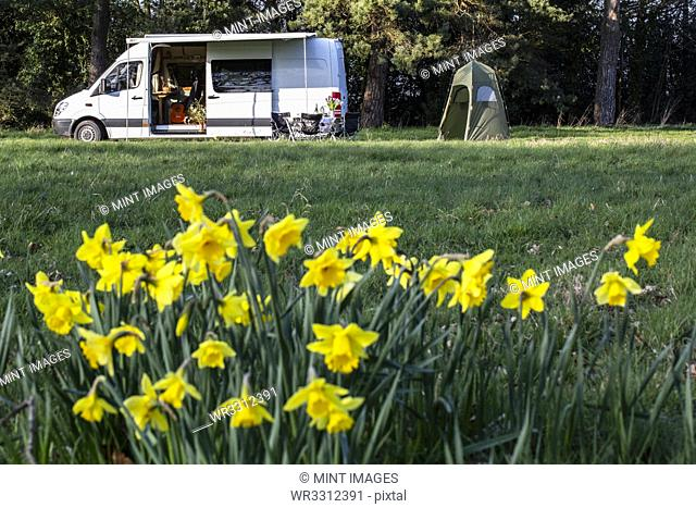 Close up of yellow daffodils in spring, camper van parked in the distance