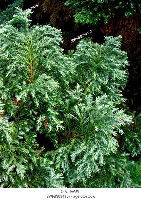 sawara falsecypress (Chamaecyparis pisifera 'Squarrosa', Chamaecyparis pisifera Squarrosa), cultivar with needles