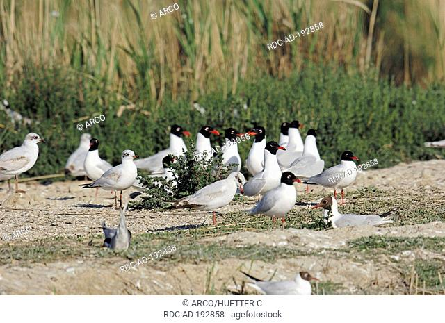 Nesting colony of Mediterranean Gull and Black-headed Gull, Camargue, Provence, Southern France, Larus melanocephalus, Larus ridibundus