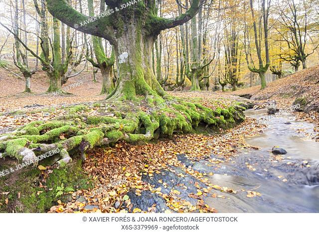 Beech trees forest of Otzarreta, Natural Park of Gorbeia, Vizcaya, Spain