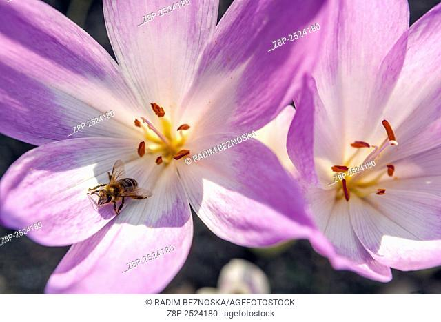 Autumn Crocus, Colchicum autumnale, known as Meadow Saffron or Naked Lady