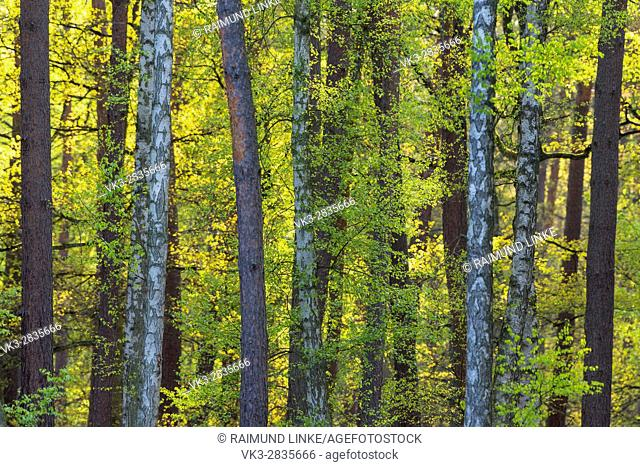 Fresh birch leaves in the forest, Hesse, Germany