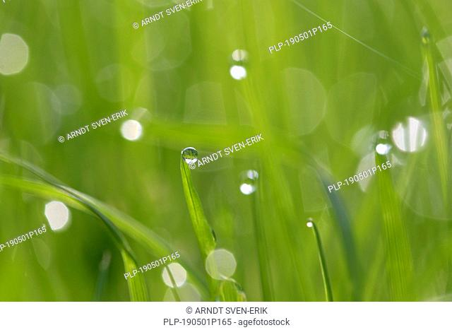 Close-up of dewdrops hanging from blades of grass / grass halms in grassland / meadow