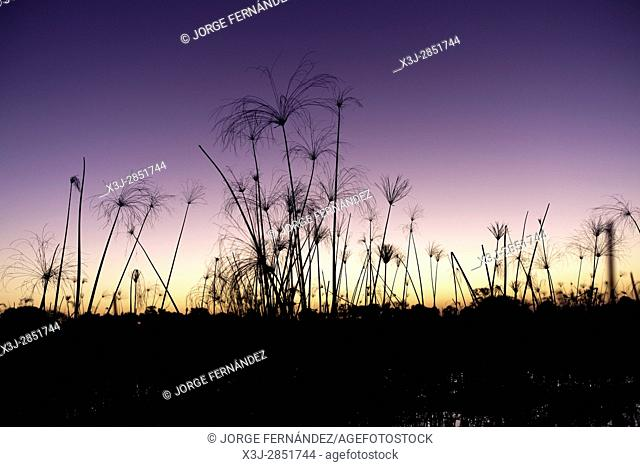 Silhouette of the papyrus of the Okavango delta against the sunset