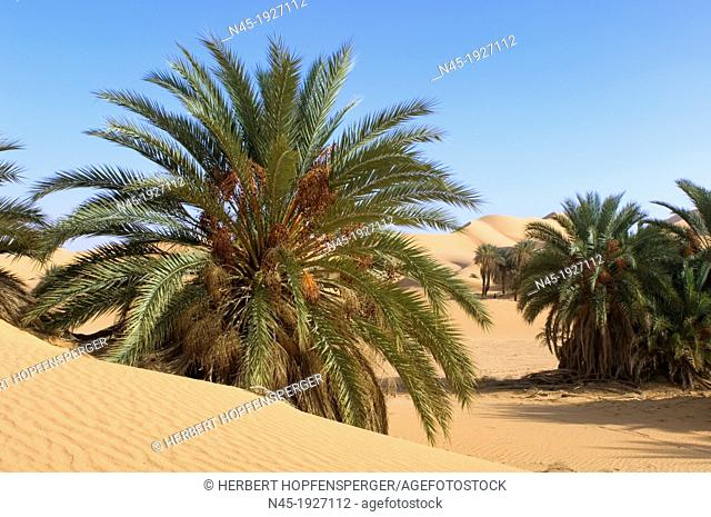 Palm Tree; Libyan Desert; Libyan Arab Jamahiriya