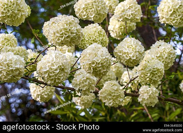 Blossoms of the Snowball viburnum, Viburnum opulus 'Sterile'