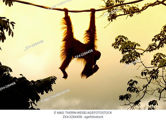 Orangutan hanging on a rope