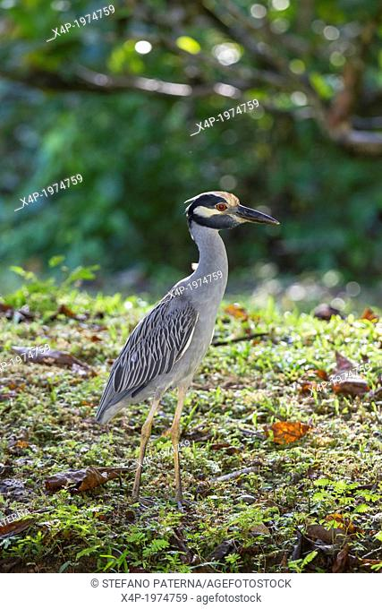 Yellow-crowned Night Heron Nycticorax violaceus in its natural environment on the Caribbean Sea Coast at the Cahuita National Park, Costa Rica