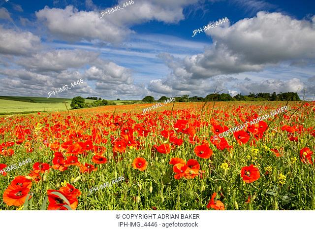 Blandford Forum Dorset England July 4, 2017 Field of red poppies under a dramatic sky