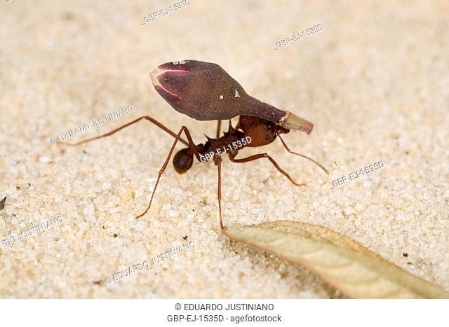 Ant Transporting Part of Plant, Insecta, Hymenoptera, São Gonçalo do Rio Preto, Minas Gerais, Brazil
