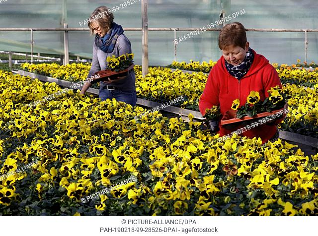 15 February 2019, Mecklenburg-Western Pomerania, Barth: In the greenhouses of Nordflor Gartenbau, Heike Erdmann (l-r) and Heike Ludwig, plant manager