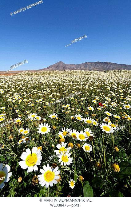 Blooming daisies, Cuchillos, Fuerteventura, Canary Islands