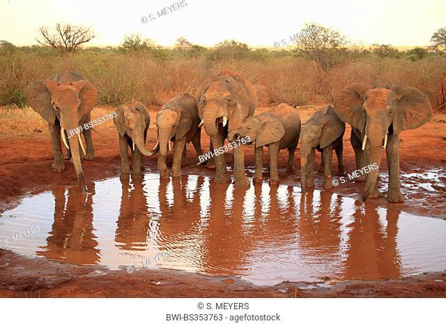 African elephant (Loxodonta africana), elephants at the water hole, Kenya, Tsavo East National Park