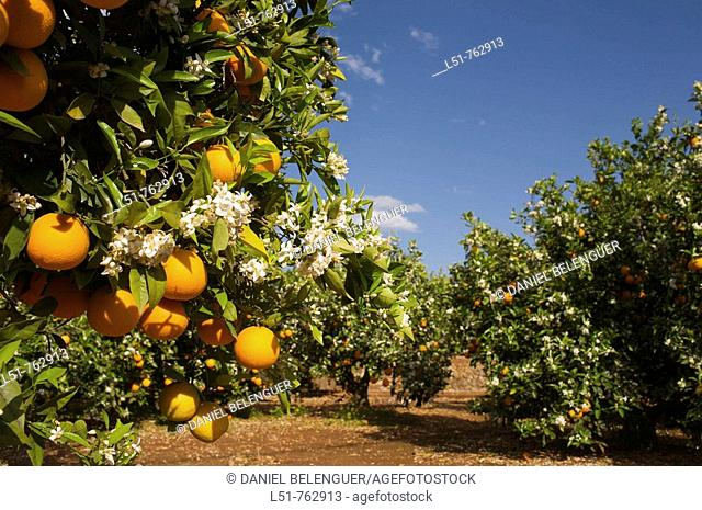 Orange trees are very common in Alzira, Ribera, Valencia, Comunidad Valenciana, Spain, Europe