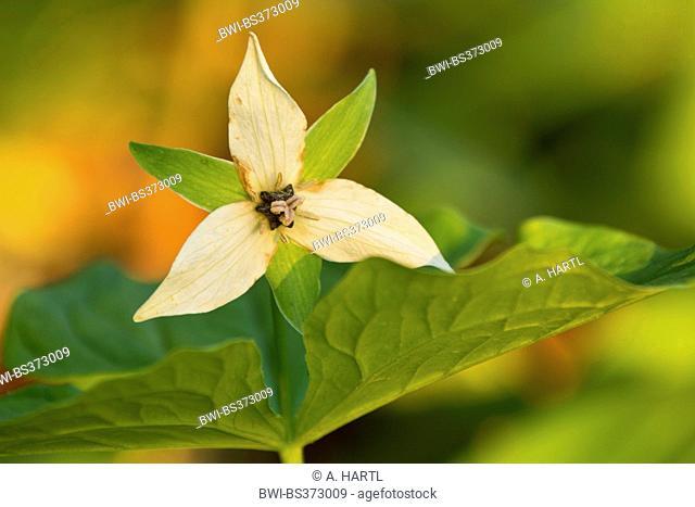 stinking-benjamin, ill-scent trillium (Trillium erectum), blooming, USA, Tennessee, Great Smoky Mountains National Park