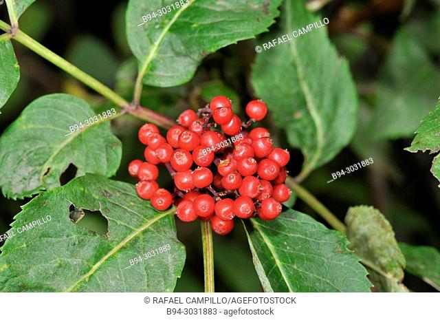 Leaves and fruits of Sorbus sp. Sorbus is a genus of about 100–200 species of trees and shrubs in the rose family, Rosaceae