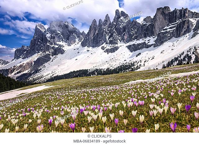 Crocus blooming on the meadows of the Funes valley, Odle dolomites, South Tyrol region, Trentino Alto Adige, Bolzano province, Italy, Europe