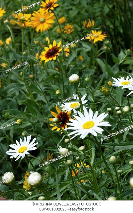 White Shasta Daisies and different Hirta Rudbeckia blooming together