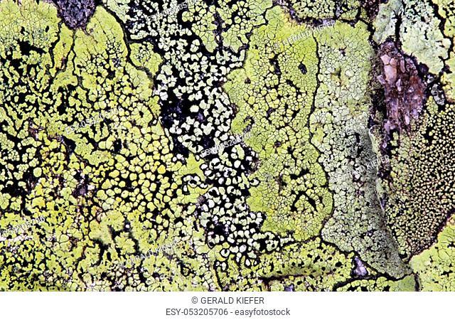 Map braid Rhizocarpon geographicum
