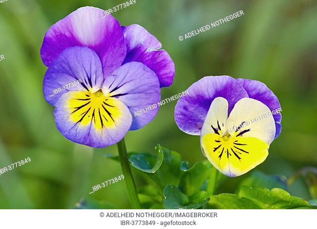 Horned Pansy or Horned Violet (Viola cornuta), Tyrol, Austria