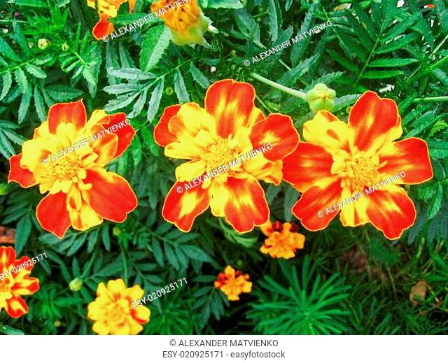 A beautiful flower of tagetes