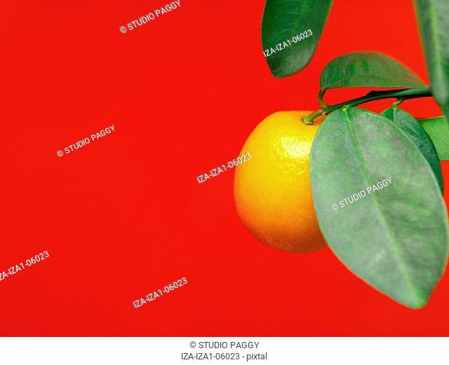 Close-up of a Mandarin orange on a branch Citrus reticulata