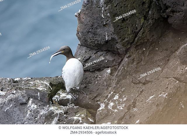 A Common murre or common guillemot (Uria aalge) with a Sand eel perched on the lava cliffs at the Svortuloft Lighthouse in Snaefellsjokull National Park on the...