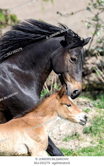 Connemara Pony. Bay mare with her foal running on a pasture. Germany