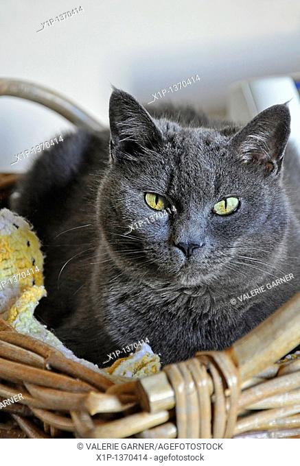 This vertical stock image is a closeup of a Russian blue cat sitting in a wicker basket  Beautiful yellow greenish eyes