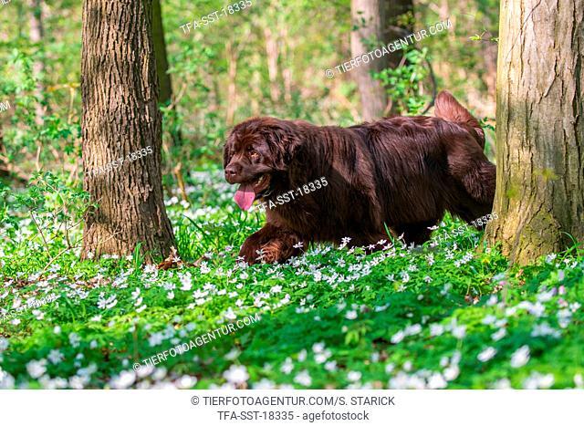 walking Newfoundland Dog