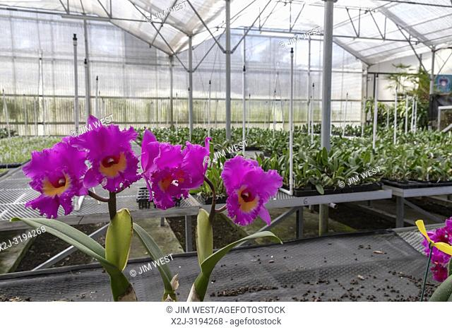 Volcano, Hawaii - Orchids growing at Akatsuka Orchid Gardens on Hawaii's Big Island. The orchid nursery is a family business