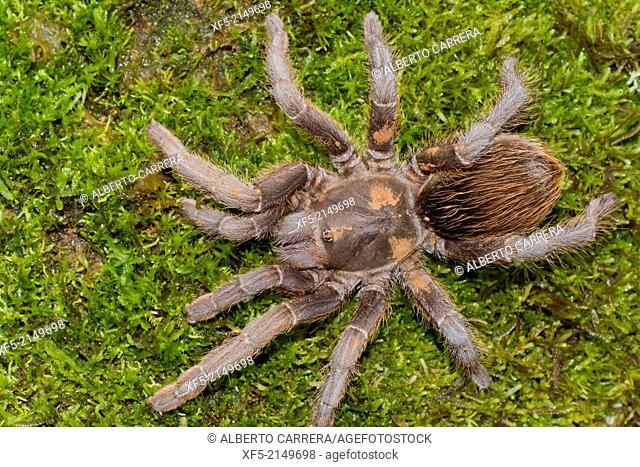Tarantula, Tropical Rainforest, Costa Rica, Central America, America