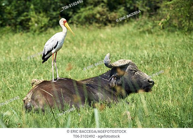 Yellow-billed stork (Mycteria ibis) standing on Cape buffalo (Syncerus caffer). Queen Elizabeth National Park, Uganda, Africa