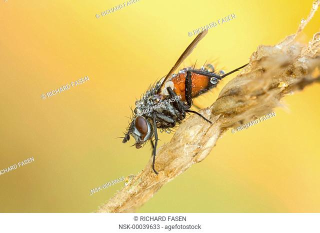 Tachinid Fly (Eriothrix rufomaculata) resting on stem, The Netherlands, Noord-brabant, Veldhoven, Dommeldal