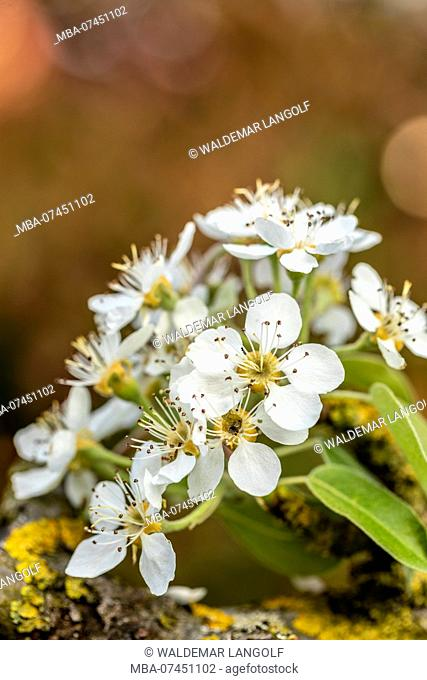 Close up of pear tree blossoms