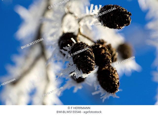 common alder, black alder, European alder Alnus glutinosa, hoar frost on cones in winter, Germany, Saxony, Vogtlaendische Schweiz