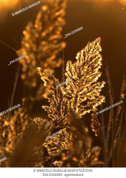 Backlit Common reeds (Phragmites australis) at Encanyissada Lagoon. Ebro River Delta Natural Park, Tarragona province, Catalonia, Spain