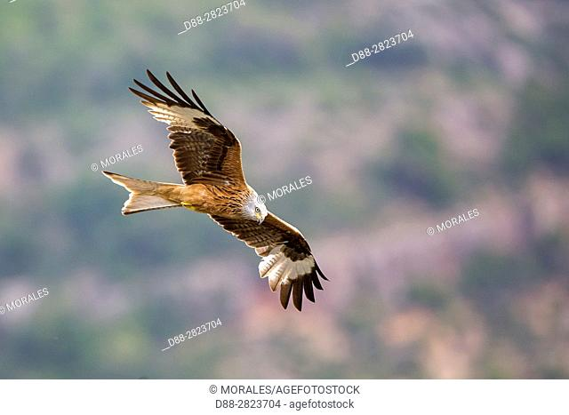 Europe, Spain, Catalonia, Province of Lerida, Red Kite (Milvus milvus), in flight