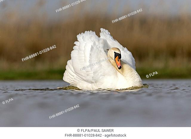Mute Swan (Cygnus olor) adult male, swimming with wings held in aggressive posture, Suffolk, England, UK, April