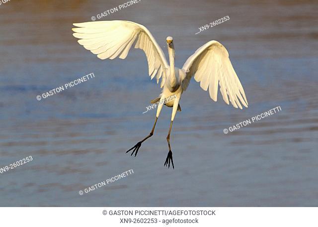 Great white egret (Egretta alba), Kruger National Park, Soputh Africa