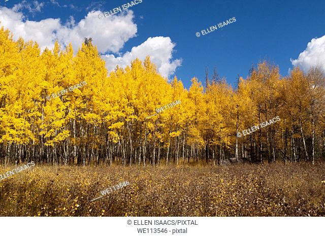 Grove of aspen trees with glowing yellow leaves growing in a grassy meadow