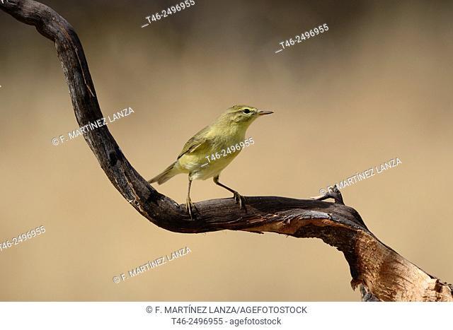 Chiffchaff Phylloscopus collybita. Photographed in an oak grove of olive Fresnedilla Madrid